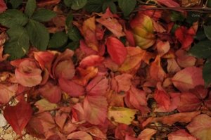 Fall Leaves - Red, Gold, Green