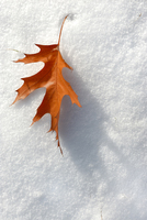 Fall Leaf in the Winter